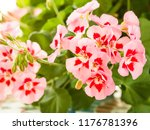 pink and red flowers of... | Shutterstock . vector #1176781396