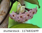 Hoya Carnosa  Commonly Called A ...