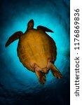 hawksbill sea turtle in the red ... | Shutterstock . vector #1176869836