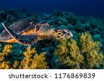 Hawksbill Sea Turtle In The Red ...