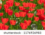 red tulips field | Shutterstock . vector #1176926983
