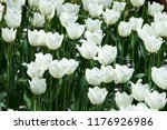 white tulips field | Shutterstock . vector #1176926986