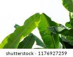 fresh banana leaves on white... | Shutterstock . vector #1176927259