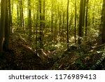 beech forest. beech is a... | Shutterstock . vector #1176989413