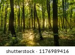 beech forest. beech is a... | Shutterstock . vector #1176989416