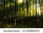 beech forest. beech is a... | Shutterstock . vector #1176989419