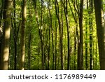 beech forest. beech is a... | Shutterstock . vector #1176989449