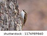 eurasian or common treecreeper  ... | Shutterstock . vector #1176989860