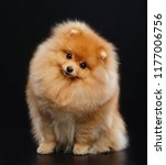 Pomeranian Spitz Dog On...
