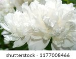peony or paeony is a flowering... | Shutterstock . vector #1177008466