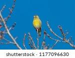 european greenfinch  carduelis... | Shutterstock . vector #1177096630