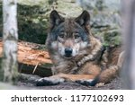 close up portrait of gray wolf  ... | Shutterstock . vector #1177102693