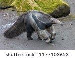 giant anteater  myrmecophaga... | Shutterstock . vector #1177103653