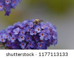 A Plasterer Bee  Colletes Sp. ...