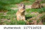 Ground Squirrel Ground Squirrel ...