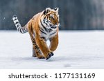 Siberian Tiger In The Snow ...