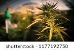Flowering Cannabis Plant And...