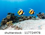 A Pair Of Bannerfish Swim Over...