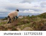 A Lamb Standing On Ilkey Moor ...
