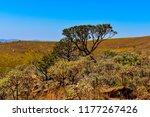 cerrado brazilian vegetation | Shutterstock . vector #1177267426