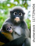 wilderness dusky leaf monkey... | Shutterstock . vector #1177296406