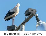 a white stork perched and... | Shutterstock . vector #1177404940
