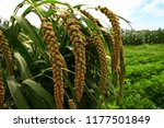 mature millet in the farmland | Shutterstock . vector #1177501849