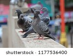 pigeons   they live in nong pra ... | Shutterstock . vector #1177536400
