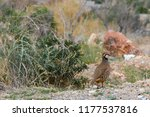 chukar partridge or chuka in...   Shutterstock . vector #1177537816