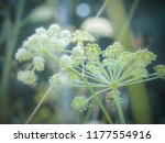 big white flowers of wild... | Shutterstock . vector #1177554916