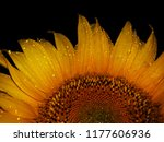 Sunflower With Black Background