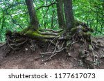 twisted roots of old trees | Shutterstock . vector #1177617073