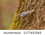 eurasian nuthatch sitting on... | Shutterstock . vector #1177651063
