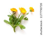 calendula flowers isolated on... | Shutterstock . vector #1177750720