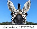 Zebra  Animal  Portrait ...