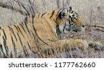 wild bengal tiger  panthera... | Shutterstock . vector #1177762660