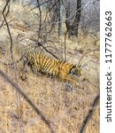 wild bengal tiger  panthera... | Shutterstock . vector #1177762663
