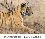 wild bengal tiger  panthera... | Shutterstock . vector #1177762666