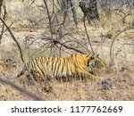 wild bengal tiger  panthera... | Shutterstock . vector #1177762669