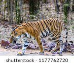 wild bengal tiger  panthera... | Shutterstock . vector #1177762720