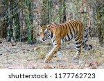 wild bengal tiger  panthera... | Shutterstock . vector #1177762723
