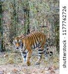 wild bengal tiger  panthera... | Shutterstock . vector #1177762726