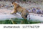 wild bengal tiger  panthera... | Shutterstock . vector #1177762729