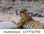wild bengal tiger  panthera... | Shutterstock . vector #1177762750