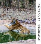 wild bengal tiger  panthera... | Shutterstock . vector #1177762753