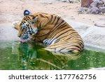 wild bengal tiger  panthera... | Shutterstock . vector #1177762756
