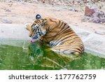 wild bengal tiger  panthera... | Shutterstock . vector #1177762759