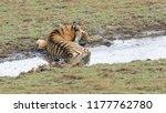 wild bengal tiger  panthera... | Shutterstock . vector #1177762780