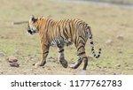 wild bengal tiger  panthera... | Shutterstock . vector #1177762783