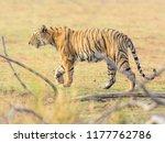 wild bengal tiger  panthera... | Shutterstock . vector #1177762786